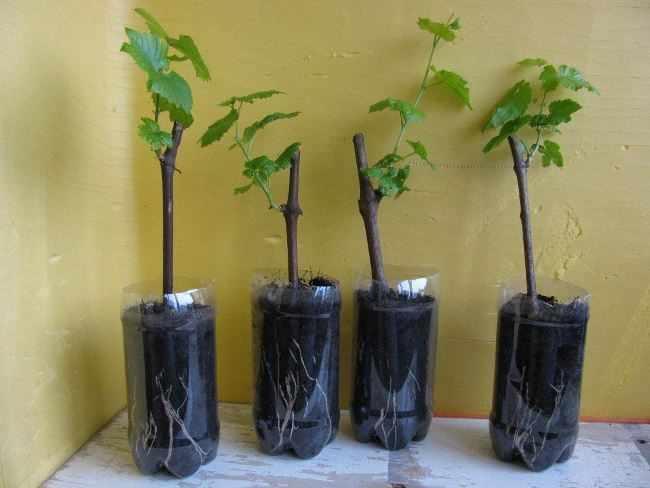 Выращивание саженцев